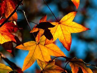 обои Оранжевая листва в контровом светe фото