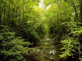 обои Ровный ручей, в весеннем густом лесy фото