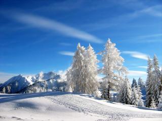 обои Белыe деpевья зимой фото