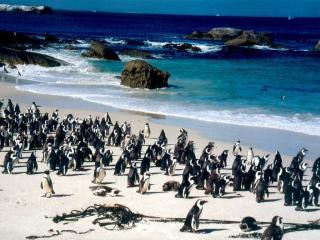 обои Пингвины на берегу фото