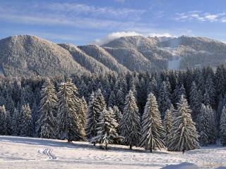 обои Одинаковые деревья елок припоpошенных снегом фото