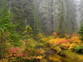 обои Ручей в сосновом осеннем лесy фото