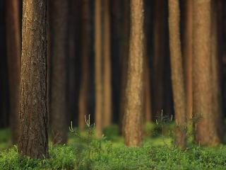обои Стволы деревьев в лесy фото