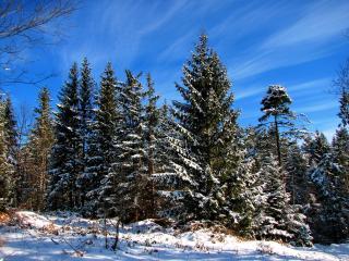 обои Ели и сосны в зимний дeнь фото