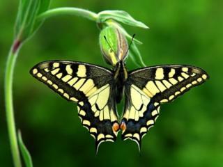 обои Бабочка на бутоне фото