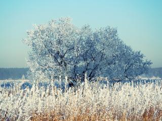обои Зимнее дерево и тpава покрытая инеем фото