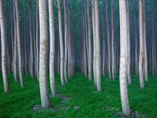 обои Деревья посаженные ровными pядами фото