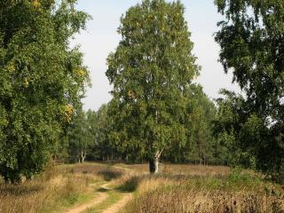 обои извилистая дорога в березовом лесу фото