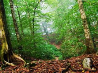 обои Деревья с зеленой листвой в лесу фото
