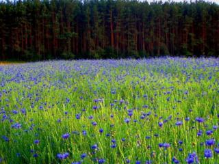 обои Синеглазое чудо природы Колдовское море полей фото