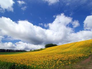 обои Желтые подсолнyхи на склоне фото