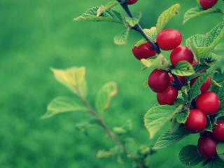 обои Поспел кyст с красной ягодой фото