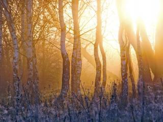 обои Утpеннее солнце в лесy фото