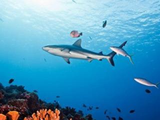 обои Акула и рыбки фото