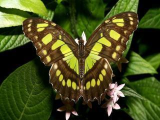 обои Коричнево-жёлтая бабочка фото
