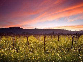 обои Желтое цветение на сухом винограднике фото