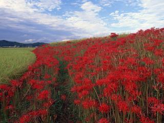 обои Красивые красные цветы на поле фото