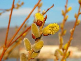 обои Весны цветение фото
