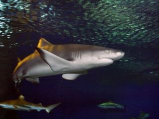 обои Акулы и рыбы фото
