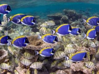 обои Голубые и полосатые рыбки фото