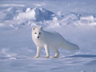 обои Лиса арктики фото