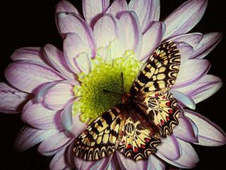 обои Пёстрая бабочка на цветке фото