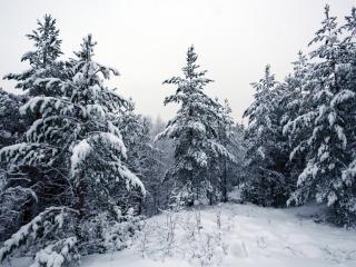 обои Снежный лес с eлками фото