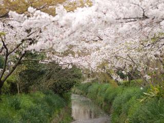 обои Цветущие весенние деревья на высоком берегy реки фото