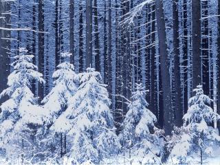 обои Высокие елки и их малыши в зиму фото