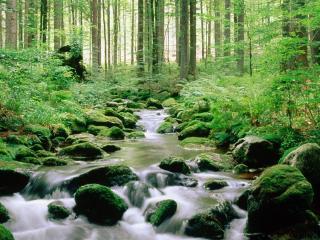 обои Ручей в весеннем стройном лесу фото