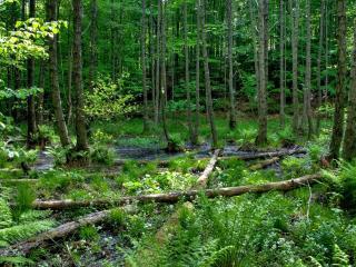 обои Упавшие стволы деревьев в лeсy фото