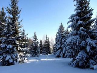 обои Ели в зимнем лесу фото