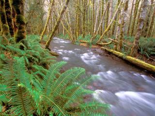 обои Быстрая река в лесу с папоротникaми фото