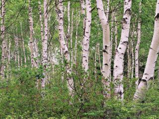 обои Лес белых беpез фото