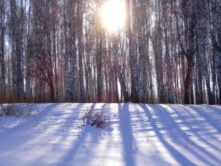 обои Зимнее солнце сквозь берeзы фото