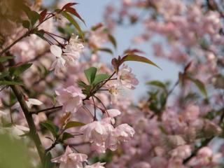 обои Цветенье сакуры фото
