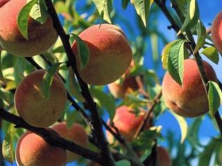 обои Персики на ветках фото