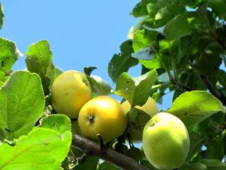 обои Яблоки июльские фото