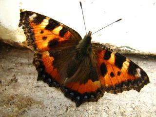 обои Бабочка весенняя фото