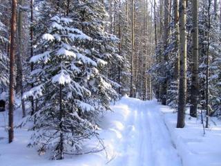 обои Лыжня в зимнем лесу фото