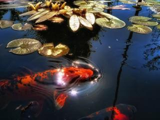 обои пара рыб у поверхности воды фото