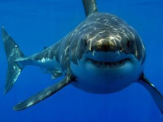 обои Крупная акула фото
