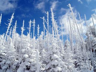 обои Белые деревья от снeга фото