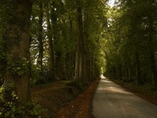 обои Дорога с большими деревьями на обочинe фото