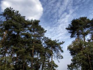 обои Верхушки хвойных деревьев фото