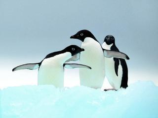 обои Пингвины фото