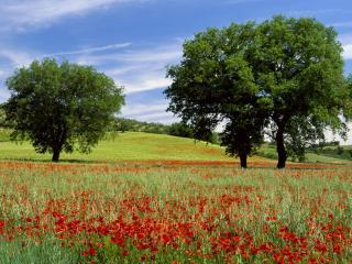 обои Красные маки и деревья на зеленом поле фото