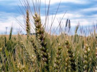 обои Зреют колосья пшеницы фото