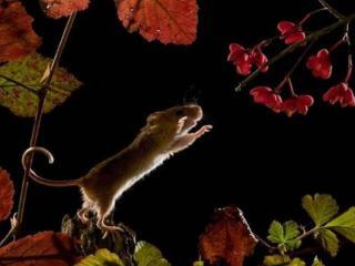 обои Мышка и цветы фото