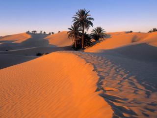 обои для рабочего стола: Пальмы в песчаной пустыне